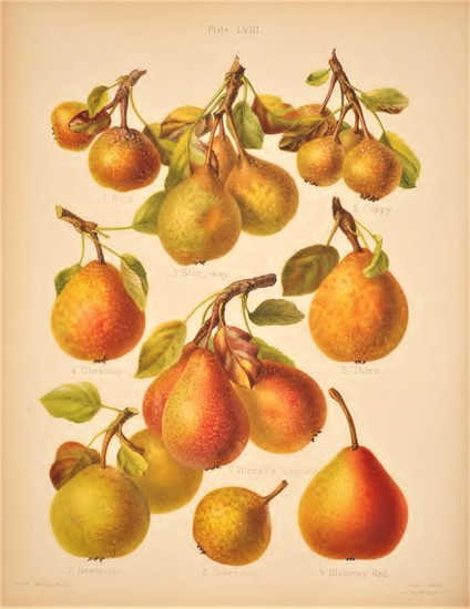 A selection of perry pears from The Herefordshire Pomona.